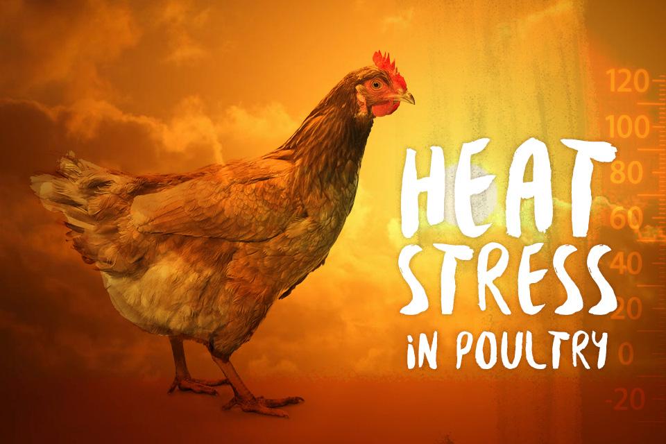 حفظ عملکرد جوجه های گوشتی تحت شرایط استرس گرمایی