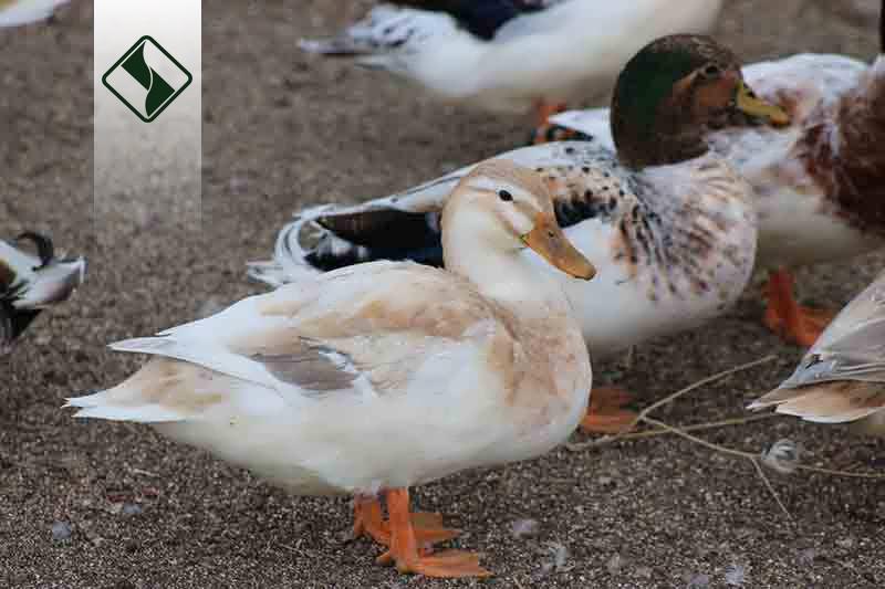 بررسی مکمل آهن در اردکهای پکین