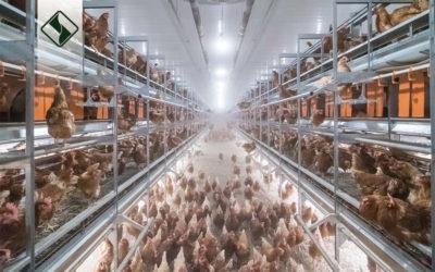 داشتن پرنده سالم، شرط اصلی داشتن یک سیستم پرورش سالم
